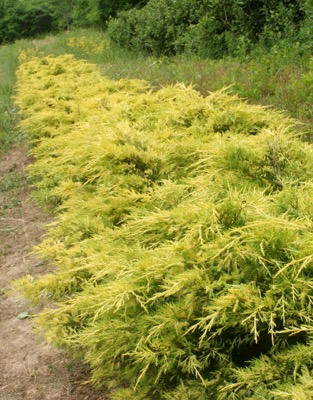 General image of Juniperus Lemon Pfizz