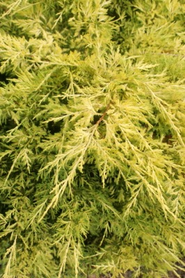 Juniperus Lemon Pfizz foliage