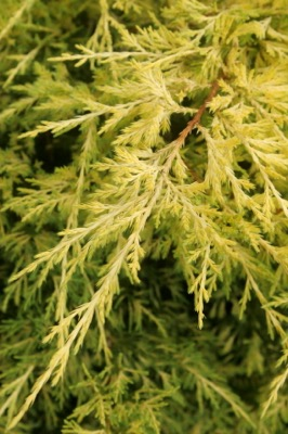 Juniperus Lemon Pfizz foliage close-up