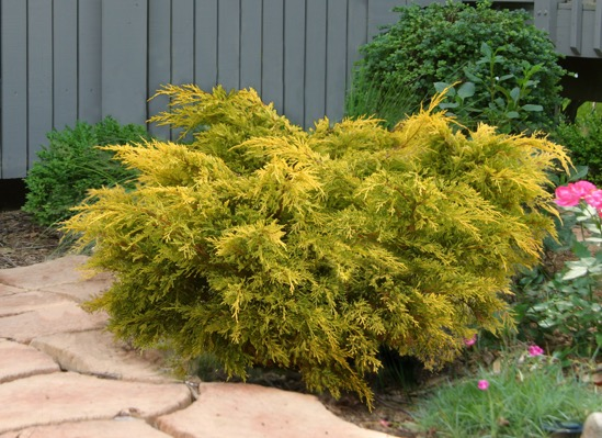 Juniperus Lemon Pfizz in garden