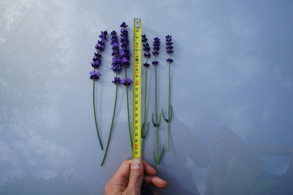General image of Lavandula Big Time Blue