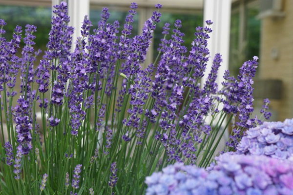 Lavandula Big Time Blue flower image