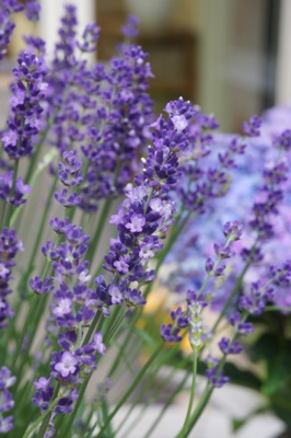Lavandula Big Time Blue flower close-up