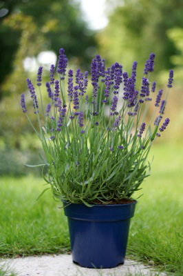 Lavandula Big Time Blue in pot