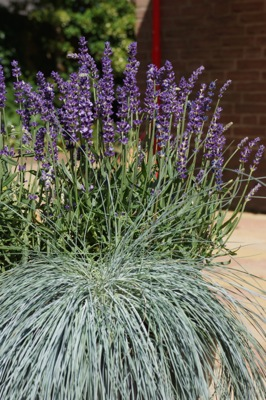 Lavandula Big Time Blue on patio