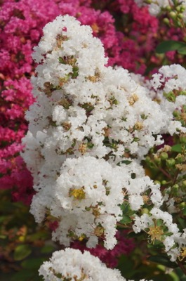 Lagerstroemia Mighty Myrtles Virgin flower image