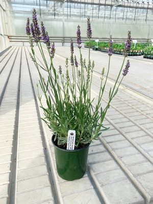 Lavandula Sensational! in pot