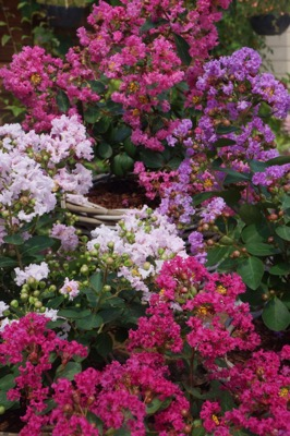 Lagerstroemia Mighty Myrtles Babe flower image