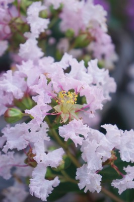 Lagerstroemia Mighty Myrtles Babe flower close-up