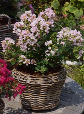 Lagerstroemia Mighty Myrtles Babe in pot