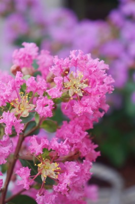 Lagerstroemia Mighty Myrtles Girl flower close-up