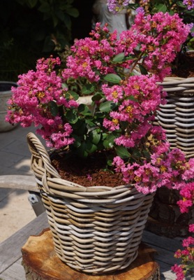 Lagerstroemia Mighty Myrtles Girl in pot