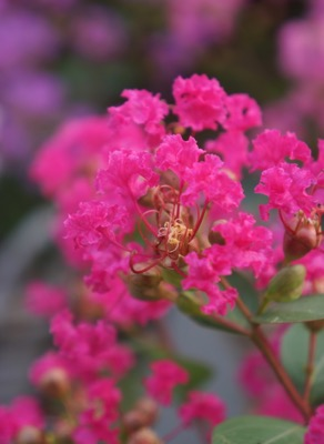 Lagerstroemia Mighty Myrtles Kiss flower close-up