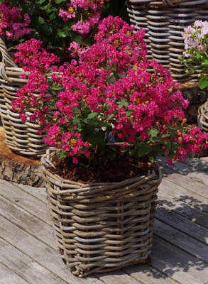 Lagerstroemia Mighty Myrtles Kiss in pot