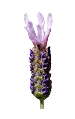 Lavandula Lusi™ Pink flower close-up