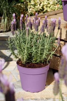 Lavandula Lusi™ Pink in pot