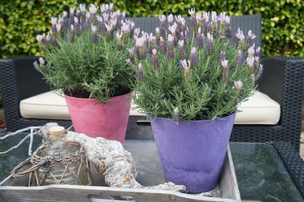 Lavandula Lusi™ Pink on patio