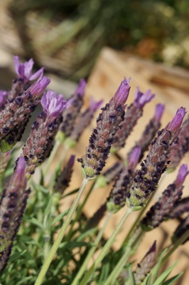 Lavandula Lusi™ Purple flower image