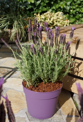 Lavandula Lusi™ Purple in pot