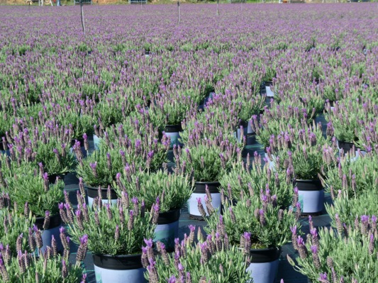 Lavandula Lusi™ Purple with nursery