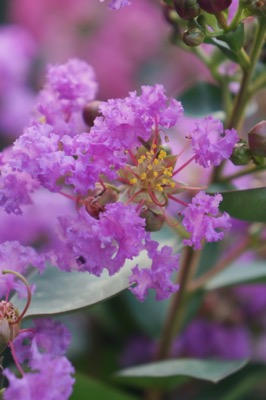 Lagerstroemia Mighty Myrtles Eternal flower close-up