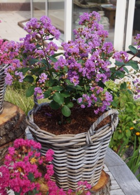 Lagerstroemia Mighty Myrtles Eternal in pot