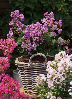 Lagerstroemia Mighty Myrtles Eternal on patio