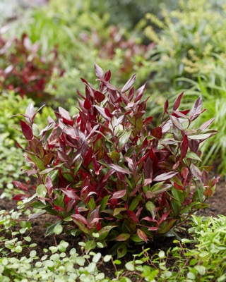 Leucothoe Leafscape™ 'Little Flames' in garden