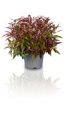 Leucothoe Leafscape™ 'Burning Love' in pot