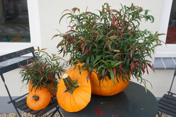 Leucothoe Leafscape™ Halloween on patio