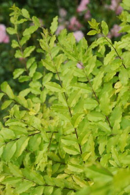 Ligustrum Sunshine foliage close-up