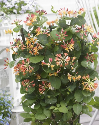 Lonicera Coral Star flower image