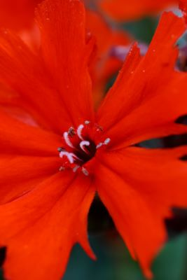 Lychnis Scarlet O'Hara flower close-up