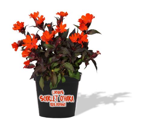 Lychnis Scarlet O'Hara in pot