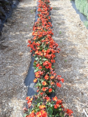 Lychnis Scarlet O'Hara with nursery
