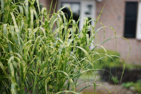 Miscanthus Alligator foliage