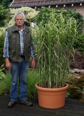 Miscanthus Alligator with breeder Geert Heinemans B.V.