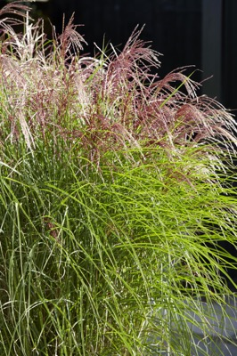 Miscanthus Red Cloud flower image