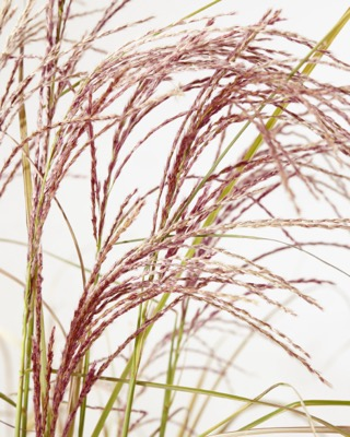 Miscanthus Red Cloud flower close-up