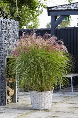 Miscanthus Red Cloud on patio