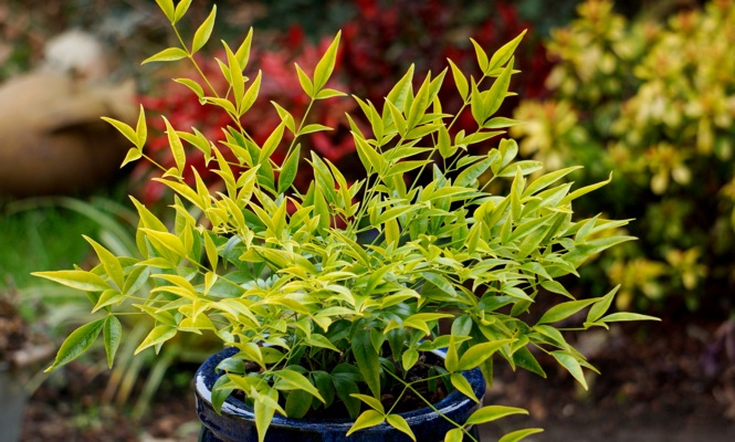 Nandina Brightlight on patio