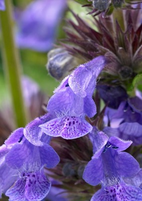 Nepeta Neptune flower close-up