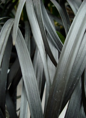 Ophiopogon Black Beard foliage close-up