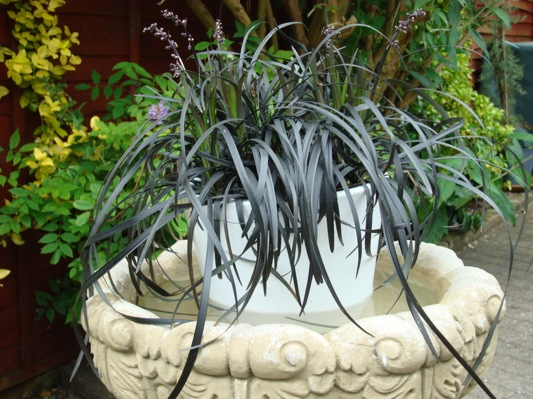 Ophiopogon Black Beard on patio