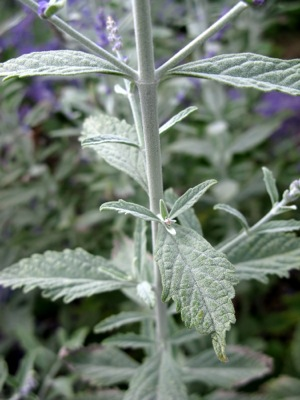 Perovskia Silvery Blue foliage close-up