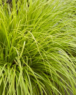 Pennisetum Lumen Gold foliage close-up