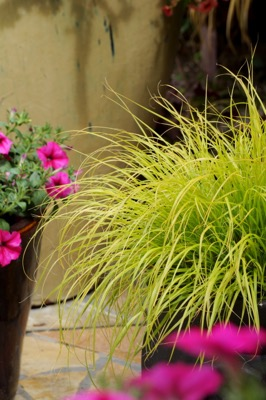 Pennisetum Lumen Gold on patio