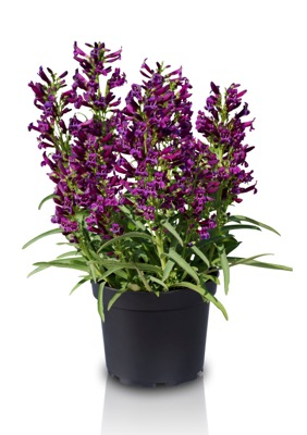 Penstemon Purple Perfection in pot