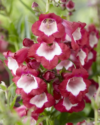 Penstemon Pentastic™ Red flower close-up