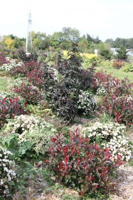 General image of Photinia Fire Fantasy